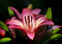 lily thumb